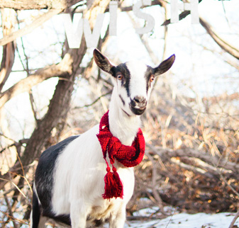 Goat with a red scarf on